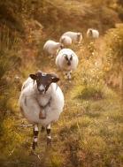 L'agneau des bruyères 2